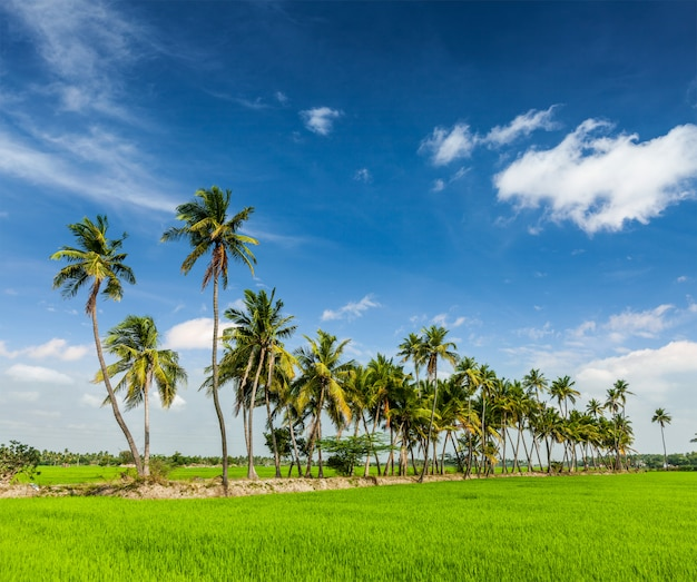 Rijstplantage, landbouw, india