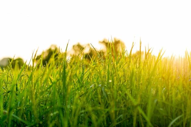 Rijstplanten die groeien en granen produceren tijdens het oogstseizoen.