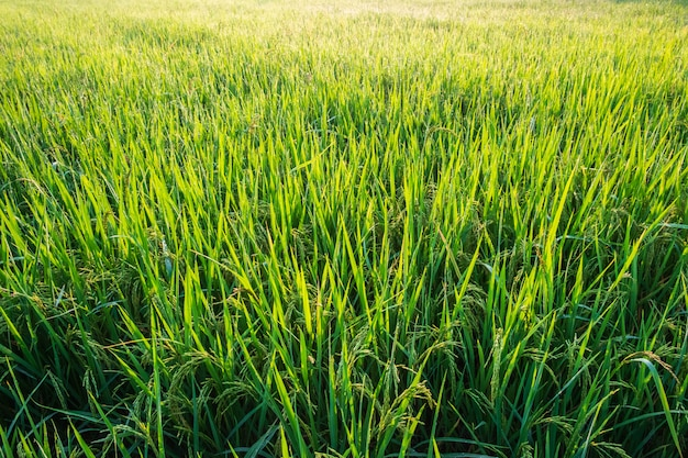 Rijstplanten in rijstvelden