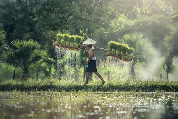 Rijstteelt, boeren verbouwen rijst in het regenseizoen.