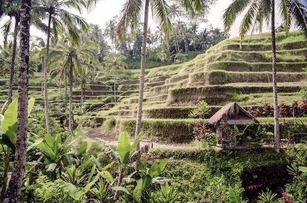 Rijstterrassen in bali