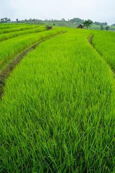 Rijstterrasveld op de heuvel