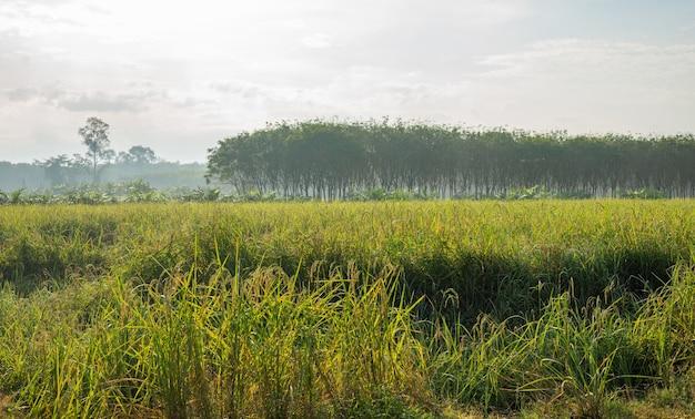 Rijstveld, landbouw, padie, met lucht en wolken en mist in ochtendlicht