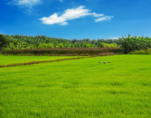 Rijstveld, landbouw, padie, met witte wolk en blauwe hemel