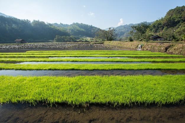 Rijstveld met bergachtergrond in de ochtend