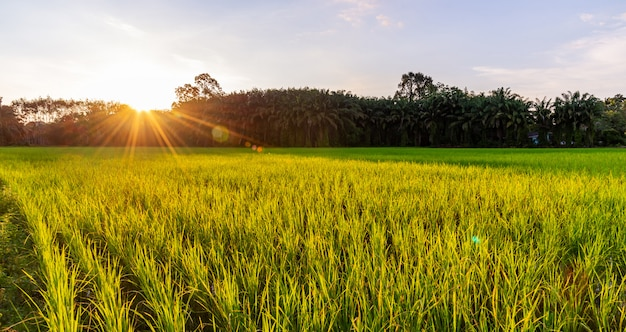 Rijstveld panoramisch met zonsopgang of zonsondergang en zonnestraal flare