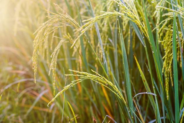 Rijstveld, rijstboerderij in thailand