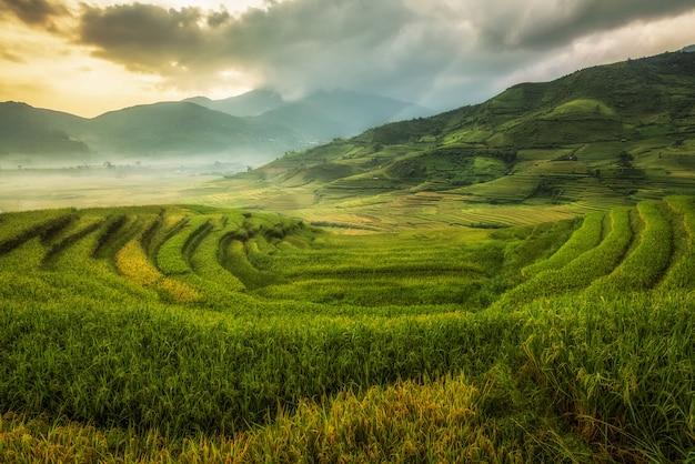 Rijstvelden bereiden de oogst voor in noordwest-vietnam. landschappen van vietnam.