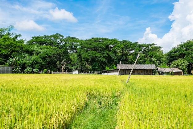 Rijstvelden en de lucht