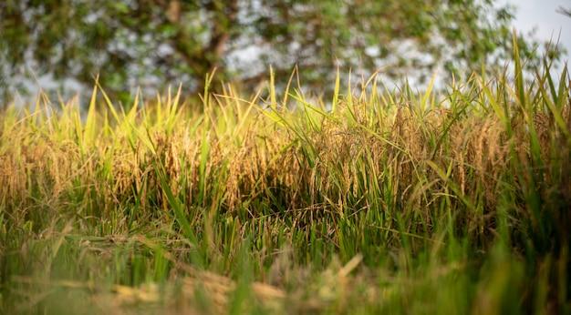 Rijstvelden en rijstvelden