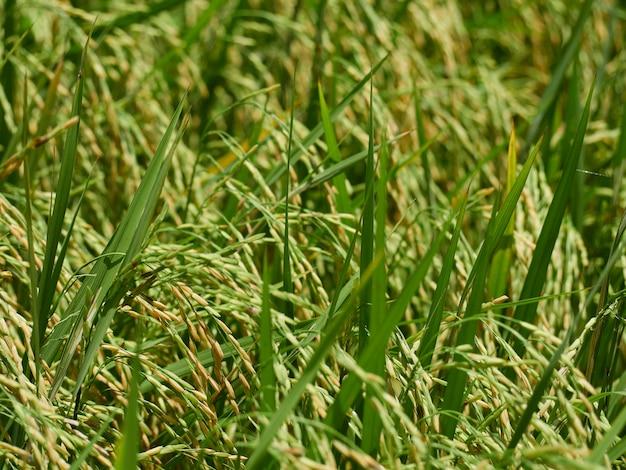 Rijstvelden in de buurt van de oogst