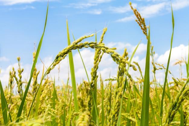 Rijstvelden in het veld