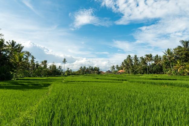 Rijstvelden in ubud