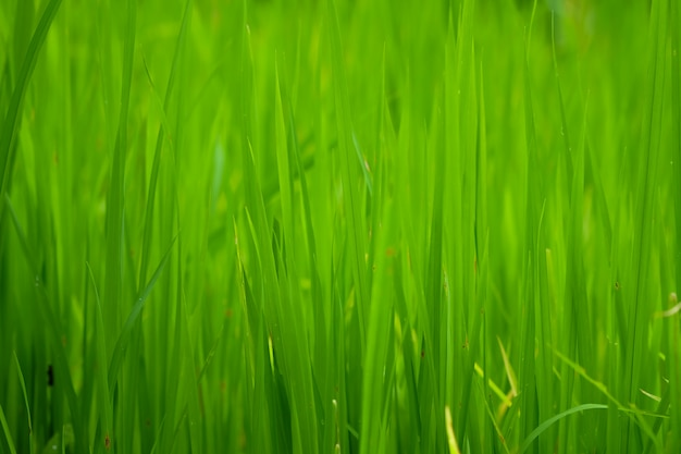 Rijstvelden of grasgroen close-up, natuurlijke groene textuur
