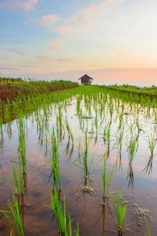 Rijstvelden reflecties in noord-bengkulu, indonesië