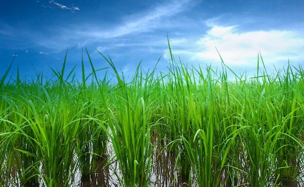 Rijstvelden, terrassen plantage boerderij een biologische aziatische rijst boerderij
