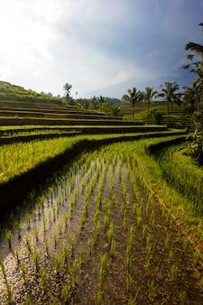 Rijstvelden van jatiluwih in het zuidoosten van bali