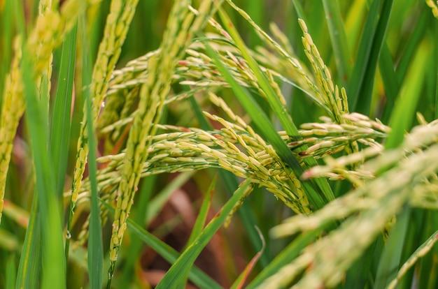 Rijstzaailingen in de velden