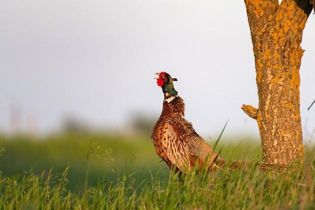 Ringnecked fazant mannetje, phasianus colchicus, in gras op een mooi zonlicht.