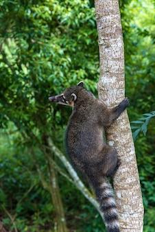 Ringstaartcoati klimmen op een boom