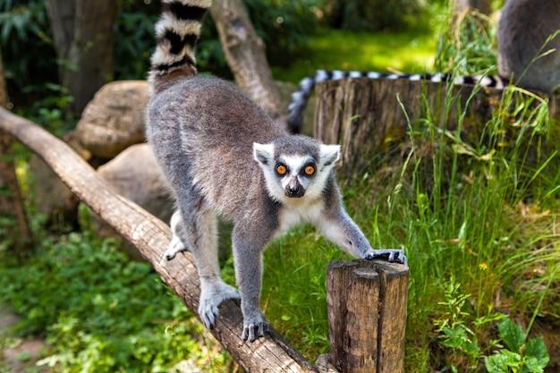 Ringstaartmaki aan de boom, lemur catta