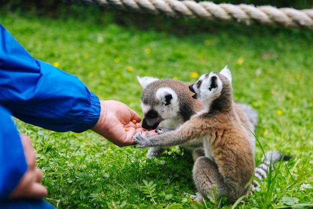 Ringstaartmaki die uit een hand van personen eet. een volk voedt de ringstaartmaki's. lemur catta. mooie grijze en witte maki's