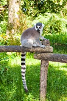 Ringstaartmaki met een gestreepte staart op een boomstam, maki catta