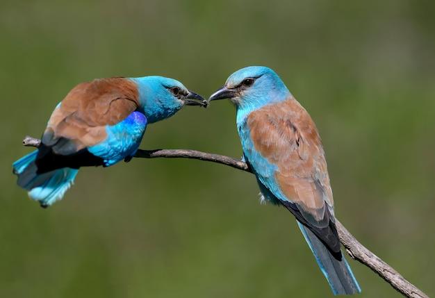 Ritueel voeren door een mannelijke europese roller van een vrouwtje tijdens de paartijd. beide vogels zitten op een tak op een wazige groene achtergrond