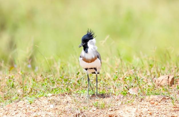 River lapwing vanellus duvaucelii prachtige vogels van thailand