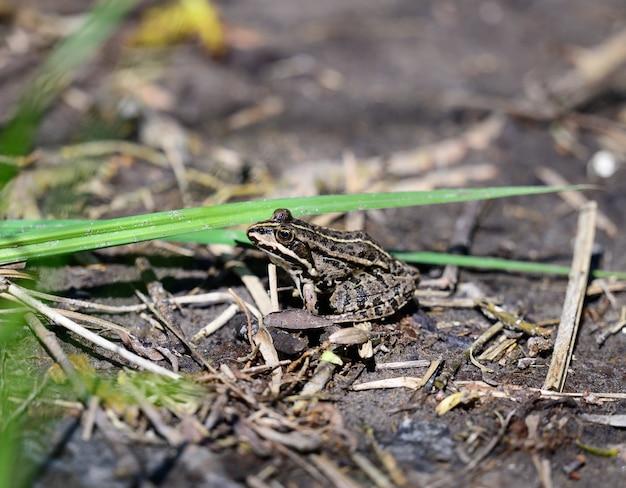Rivierkikker zittend op de grond op een lentedag