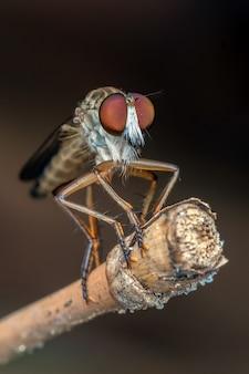 Robberfly met prooi in close-up foto