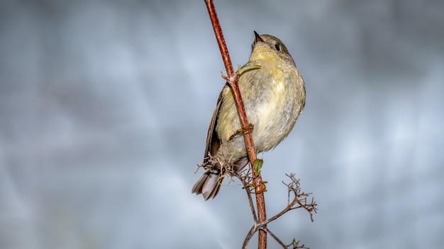 Robijngekroonde kinglet (regulus calendula)