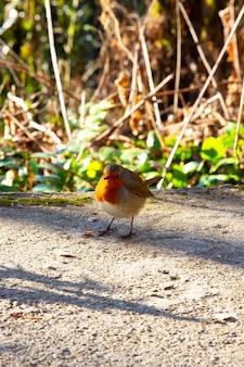 Robin - erithacus rubecula. een kleine grijze vogel met een oranje borst op een zonnige dag