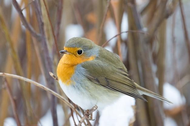 Robin op een tak
