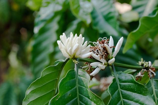 Robusta flower koffieplantage boerderij
