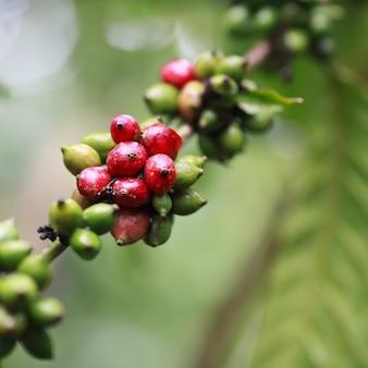 Robusta-koffielandbouwbedrijf en aanplanting op de zuidenberg van thailand.