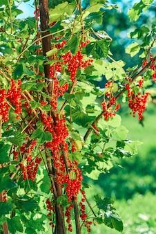 Rode aalbes bush met clusters van bessenclose-up