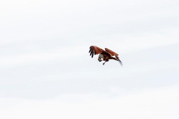 Rode adelaar die op de hemel in aard in thailand eatting