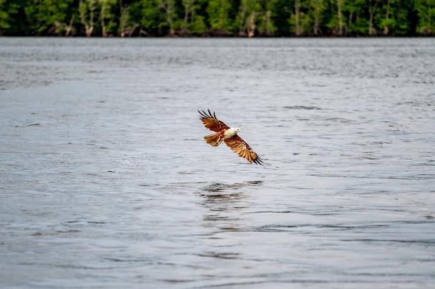 Rode adelaar op het overzees in aard in thailand