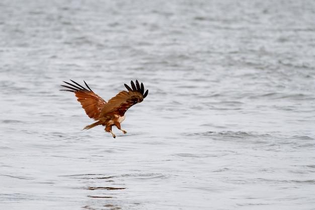 Rode adelaarsvlieg die op het overzees in aard in thailand landen