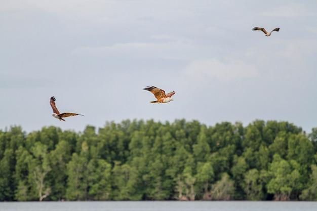 Rode adelaarsvlieg op de hemel in aard in thailand
