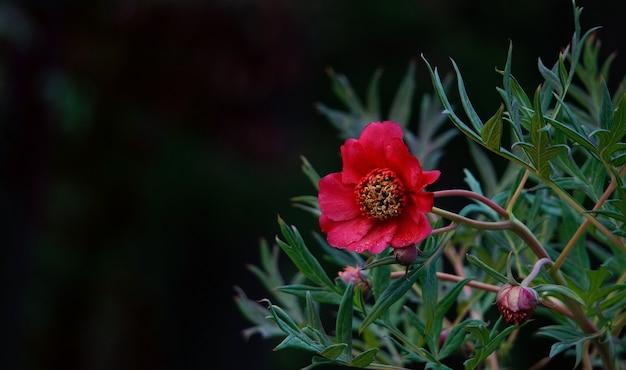 Rode anemoon in de tuin op zwart