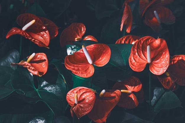 Rode anthurium stroomt