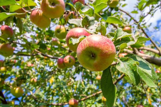 Rode appels op de boom tussen bladeren onder blauwe hemel op een zonnige dag.