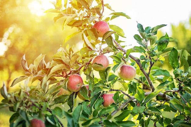 Rode appels op een boom in de tuin.