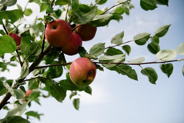 Rode appels op een tak
