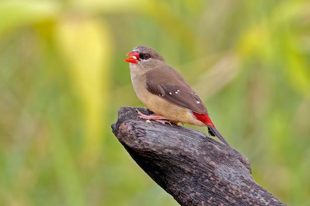 Rode avadavat amandava amandava mooie vrouwelijke vogels van thailand