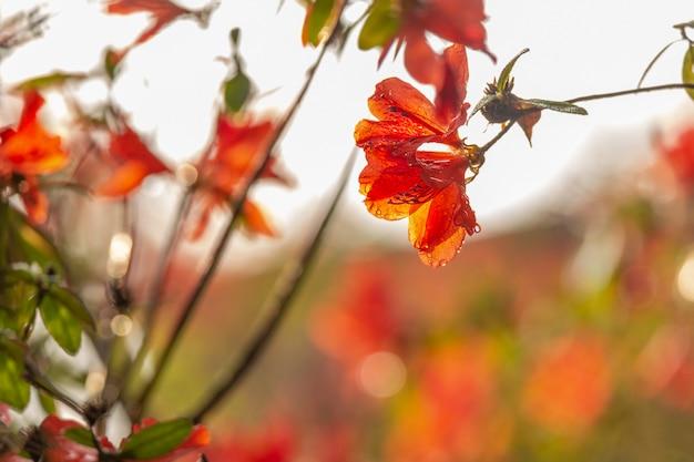 Rode azalea-bloem