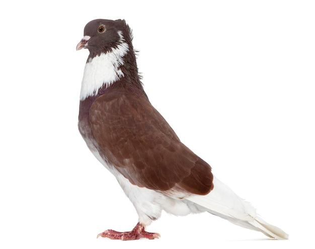 Rode belgische ringslager-duif die op wit wordt geïsoleerd
