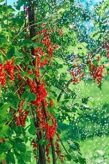 Rode bes bush met trossen bessen wordt van bovenaf bewaterd met kleine druppels water